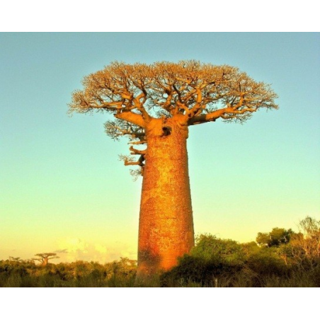FORLIVE Baobab bio