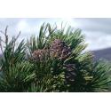 FORLIVE Semi di cedro Bio (pinoli) 19