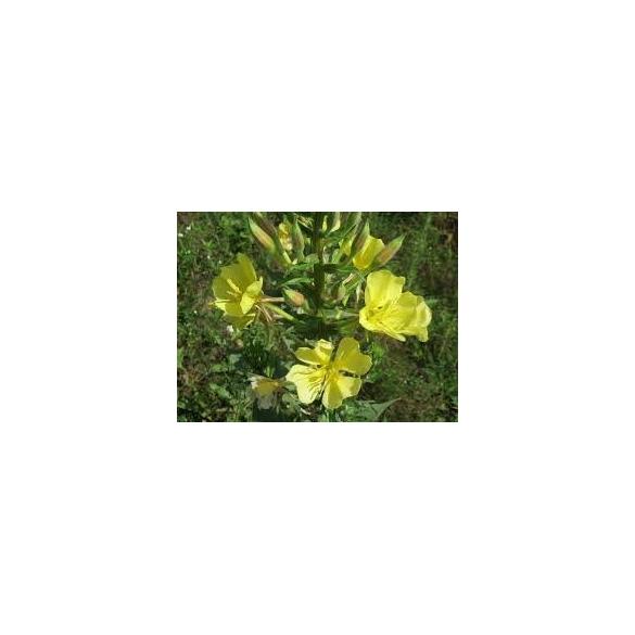 ARCANGEA Olio di oenothera